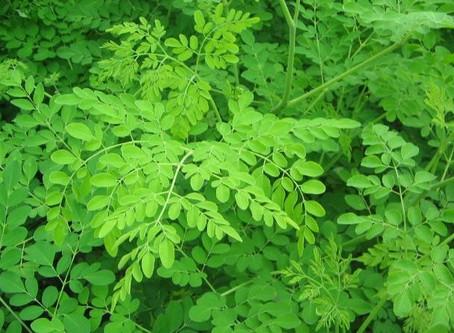 Le moringa oleifera, la plante aux 300 bienfaits