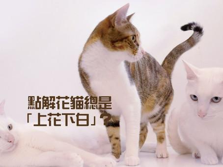 點解花貓總是「上花下白」?