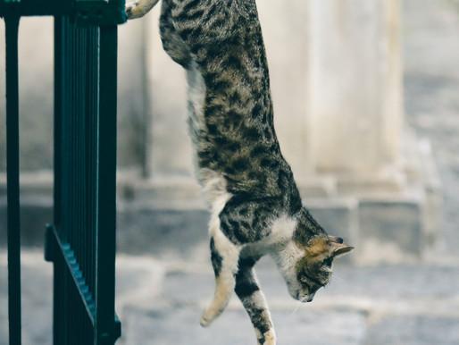 都話貓有九條命,這是真的嗎?