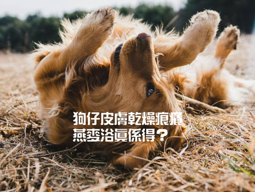 狗仔皮膚乾燥痕癢,燕麥浴真係得?