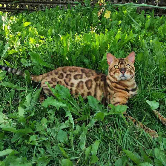 Bengal in grass.jpg