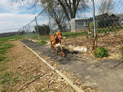 Dog running with bone