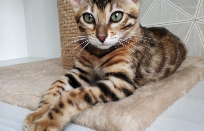 Bengal Sitting