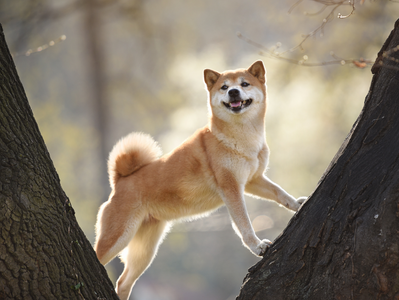 Breed Spotlight: Shiba Inu