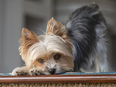 Breed Spotlight: Yorkshire Terrier