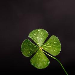 clover-dew-leaf-705310_edited