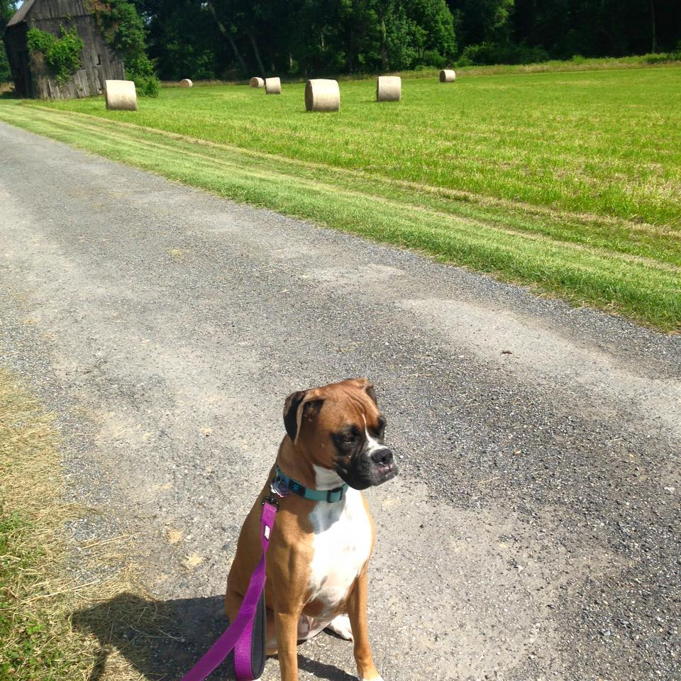 Boxer on leash sitting