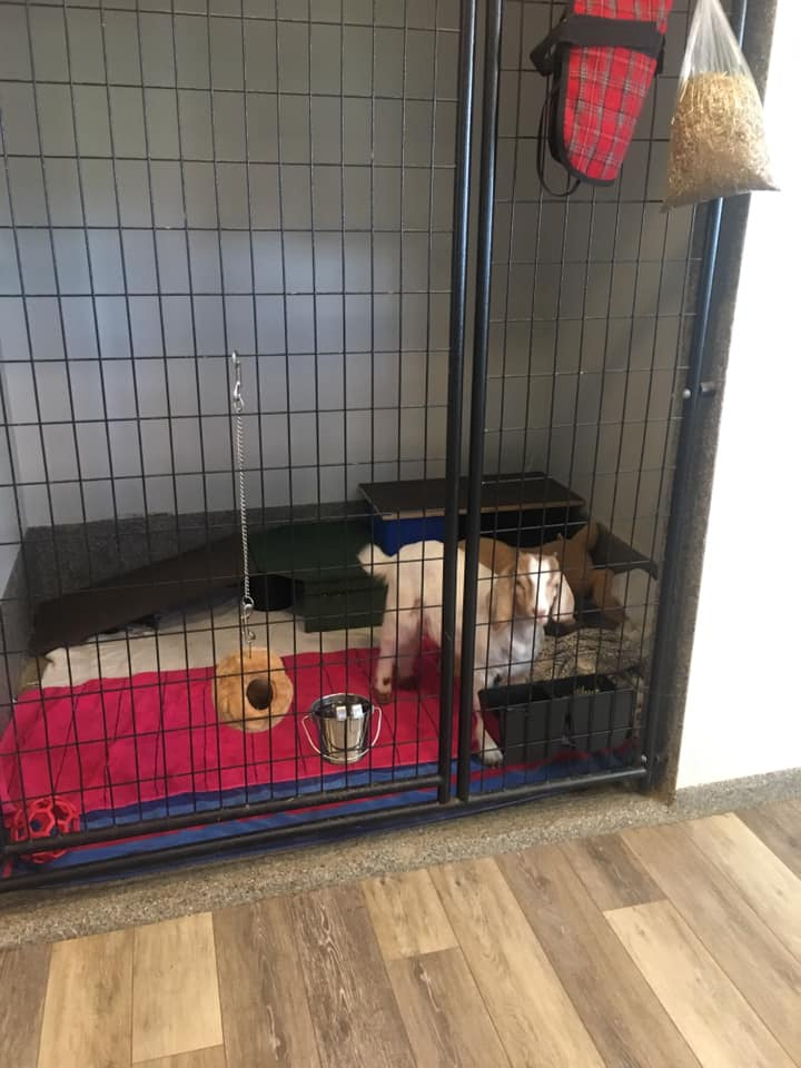 Goat in boarding facility