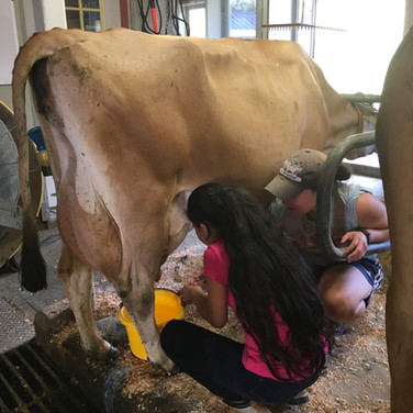 Casa Student milking Cow