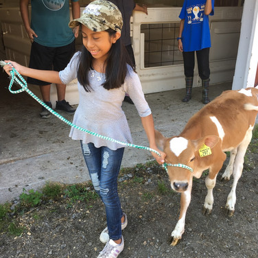 Student walking a cow