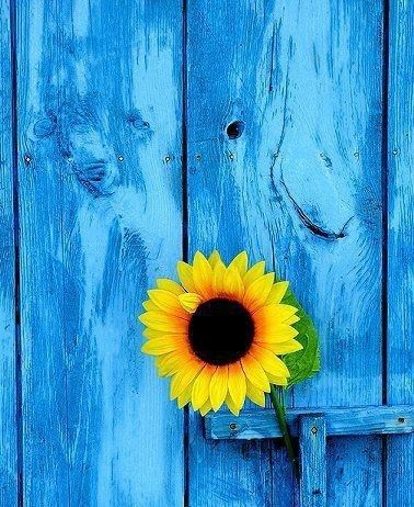 10-02-16 Blue door and sunflower
