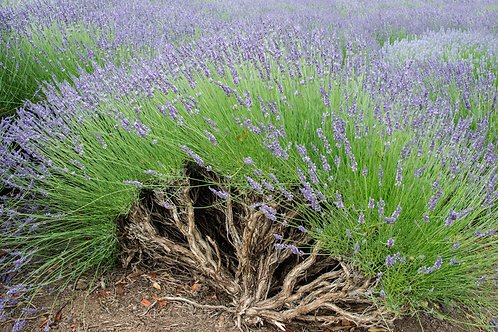 Old Growth Lavender