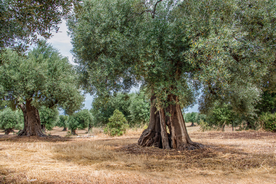 Ancient Olive Trees of Puglia