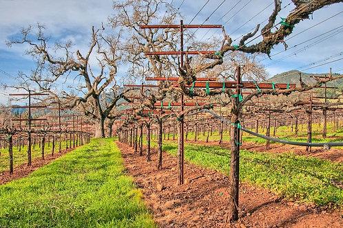 Bare Winter Vines