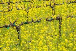 Mustard Eruption
