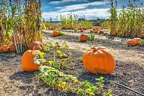 Pumpkins-04a-SS.jpg