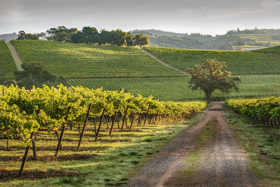 Summer Vineyard Road