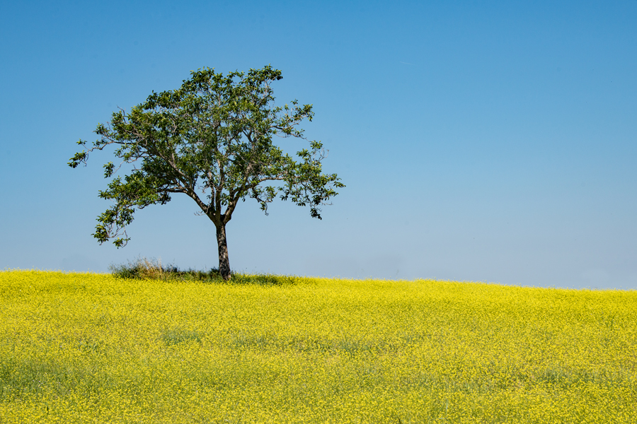 Yellow Fields of Tuscany