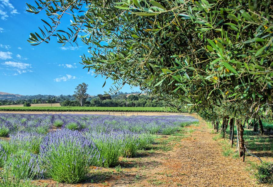 Lavender Field of Bennett Valley