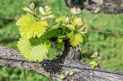 New Leaf Growth in the Vineyard