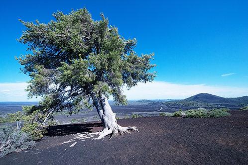 Cypress Sentinel