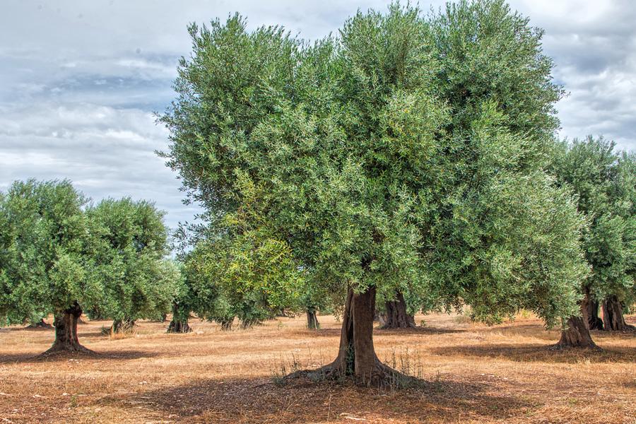 Olive Grove in Puglia