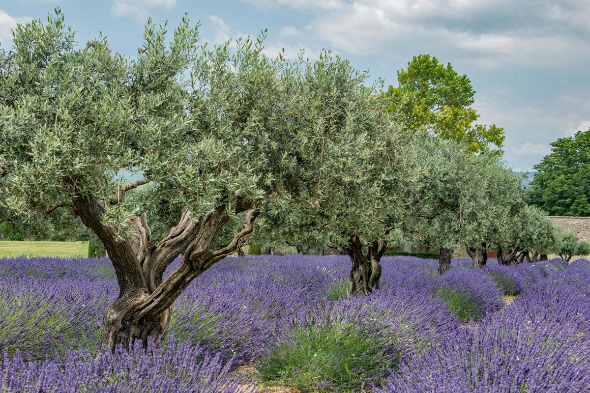 Olive Grove & Lavender