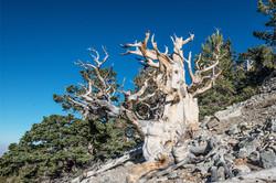 Ancient Tree at Great Basin