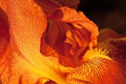 Red Bearded Iris