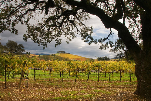 Silhouette Oak in Autumn