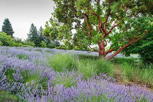 Madrone in Lavender Field