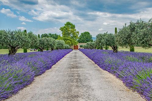 Lavender Driveway of Maubec