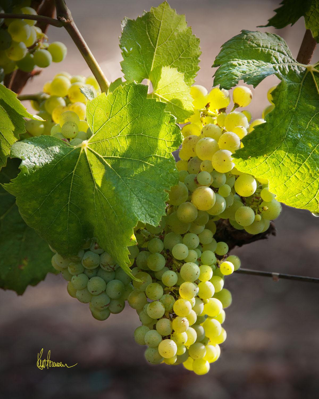 Sunlit Chardonnay