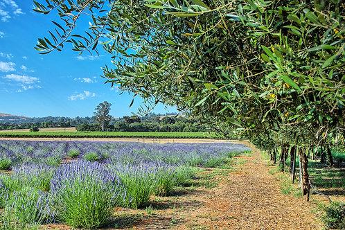 Lavender Fields of Bennett Valley