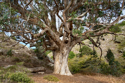 Tree at Pt. Reyes