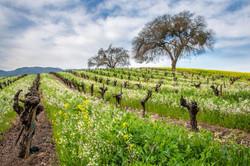 Springtime Vineyard