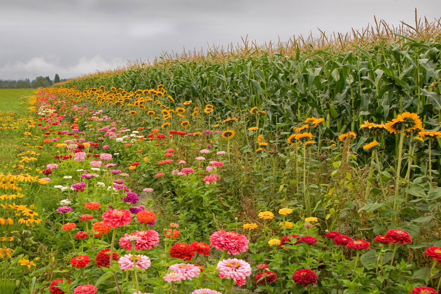 Flowers in The Cornfield