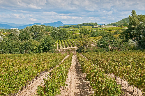 Vineyard of Orange
