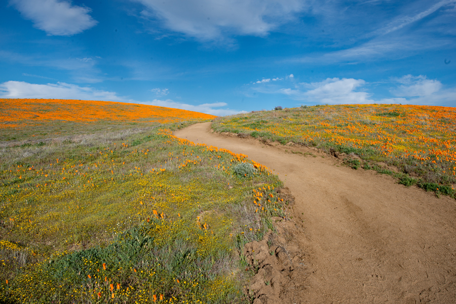 Road Through Poppies
