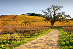 Autumn Vineyard Road