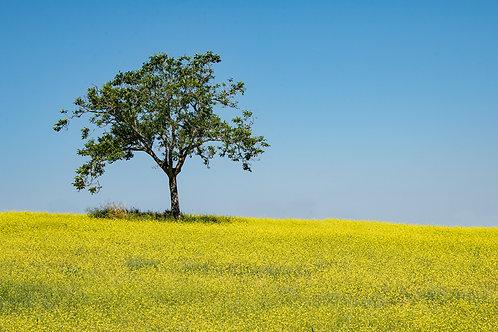 Yellow Field of Tuscany