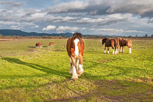 Sonoma Clydesdales