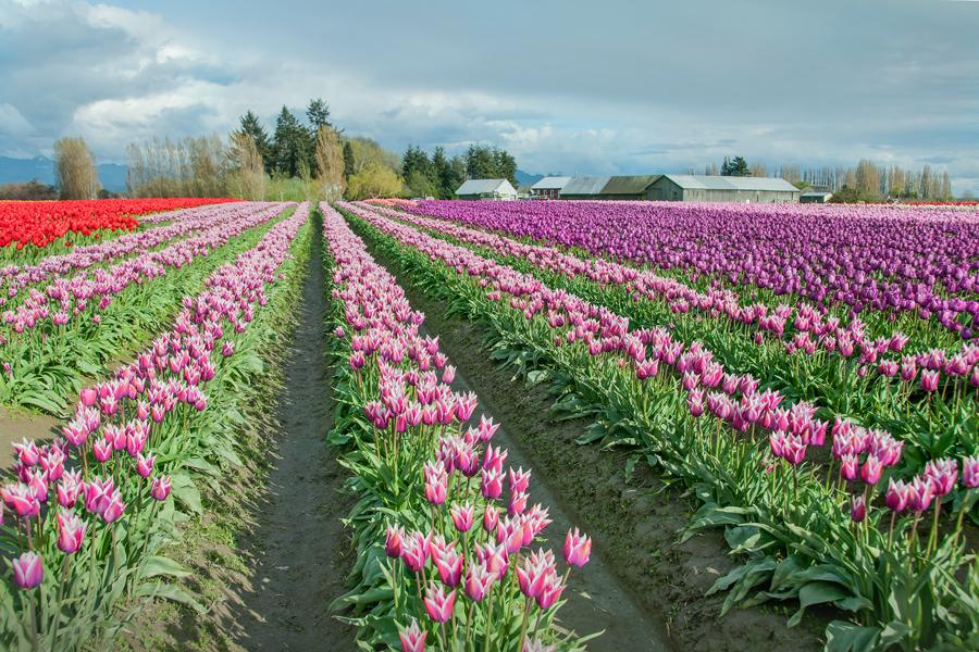Skagit Tulip Fields