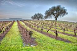 Winter Vineyard