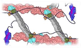 cytoskeletal mechanics small.png