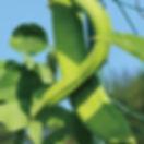 なた豆.jpg
