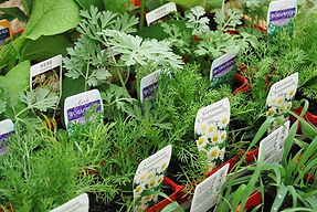 100mm potted herbs with plant information labels