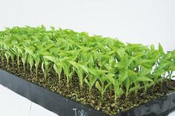 198 Seedling Plug Tray