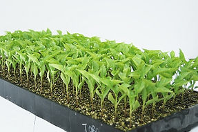 Seedling plugs in 198 cell tray