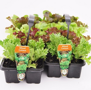 Lettuce 10 Packs
